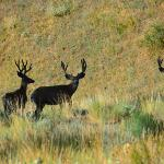 mule deer on the nearby CB ranch