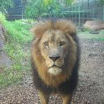 サービス精神旺盛なライオン