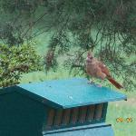 baby cardinal enjoy it's breakfast Saturday morning
