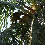 Monkey working, picking coconuts