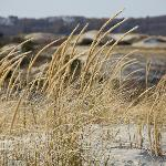 Dune grass blowing; Crane Beach 2012