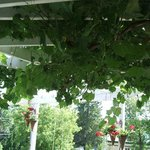 Grapevines over the Terrace dining area at L'Heritage July 2012