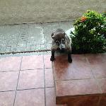 Coatimundi outside sliding door wanting breakfast