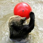 """Shadow"" the Grizzly Bear playing with her ball"