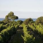 Idylic coastal vineyard setting