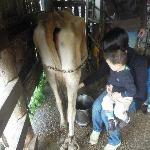 Hand-milking the cow
