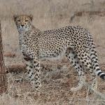 one of our Cheetah sightings on a Game drive..