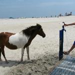Wild horse coming up to drink from water spicket.