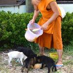 Monk feeding cute puppies at Laem Sor Pagoda