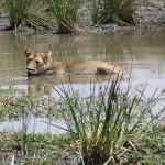 Lioness taking a bath