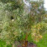 Beautiful Olive Trees