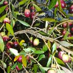 Olives on the trees