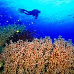 Soft corals and diver on the reef top