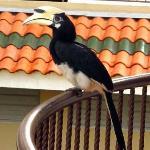 Hornbills at your balcony