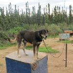 One of the very nice sled dogs