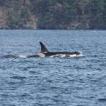 The same Orca but a little further away