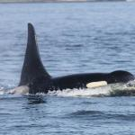 A large male Orca close to our boat!