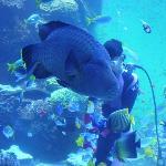 サンゴ大水槽での水中散歩。「ナポレオンフィッシュと泳ぐ日」