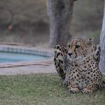 Cheetah working on her tan