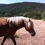 cavalli avellinesi al pascolo