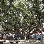 Banyan Tree, Lahaina, Maui, HI