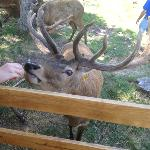 Hand Feeding Red Deer Bucks.