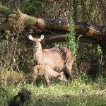 Waterbuck family on grounds