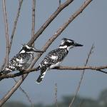 Pied kingfishers on boat trip