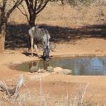 Thirsty Wildebeest