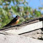 Gorgeous Barn Swallow