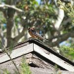 A Barn Swallow sitting still !