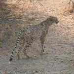 Cheeta - a rare find!