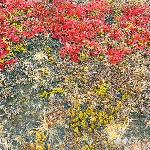 Parker Ridge - colourful ground cover