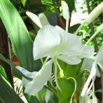 Une fleur de gingembre ,parfum doux et délicat, qui embaume le site.