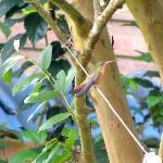 Un colibri sur notre corde à linge dans le jardin privé attenant à notre chambre.