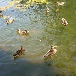 Lotsa ducks!