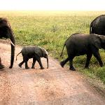 Tembo crossing the road in Serengeti National Park