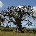 Baobob tree on drive to Dodoma