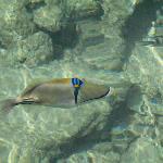 Des poissons magnifiques ici un baliste picasso