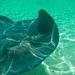 feeding Sting rays