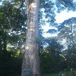 400 year old Kapok tree