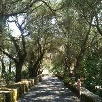 Oprijlaan met hele oude olijfbomen...