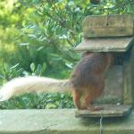 Red squirrel outside the garden room