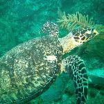 turtle-scuba diving