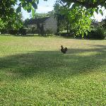 Grote tuin met kippen en cavia's.
