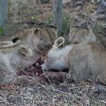 Lions' breakfast in the Camp
