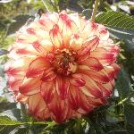 fiori - dalie