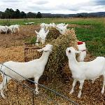 Jannei Goat Dairy Photo