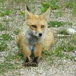 Red fox on the side of the road