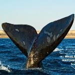 Sailing Tail - Southern Right Whale